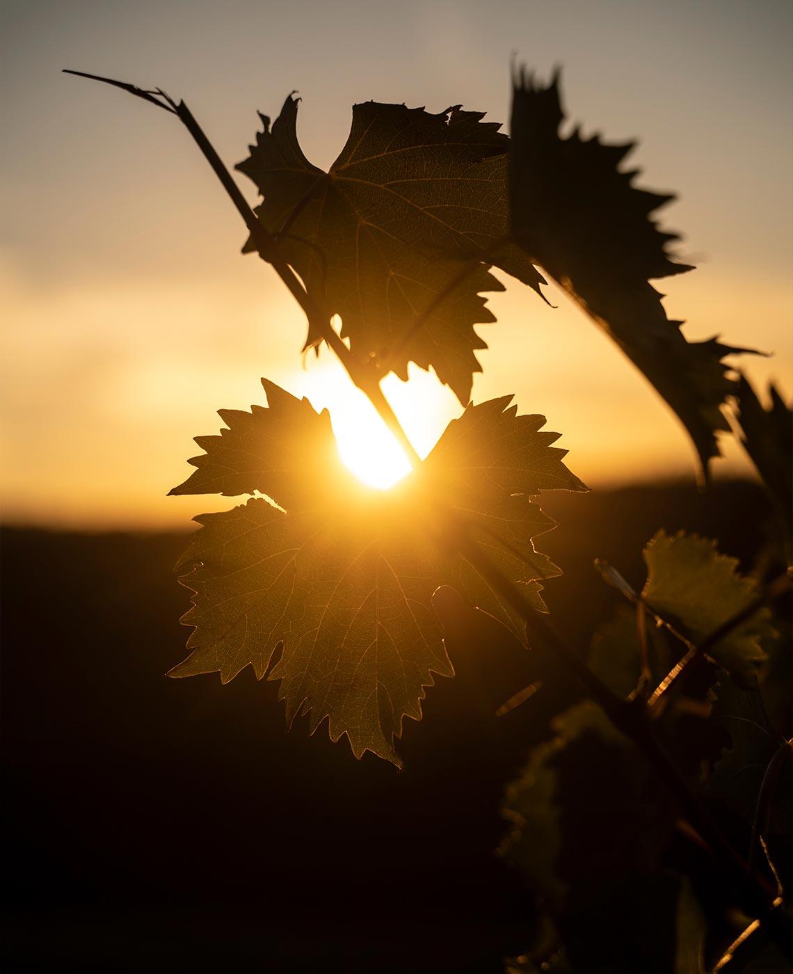 Tamburini Winery - grape leaf