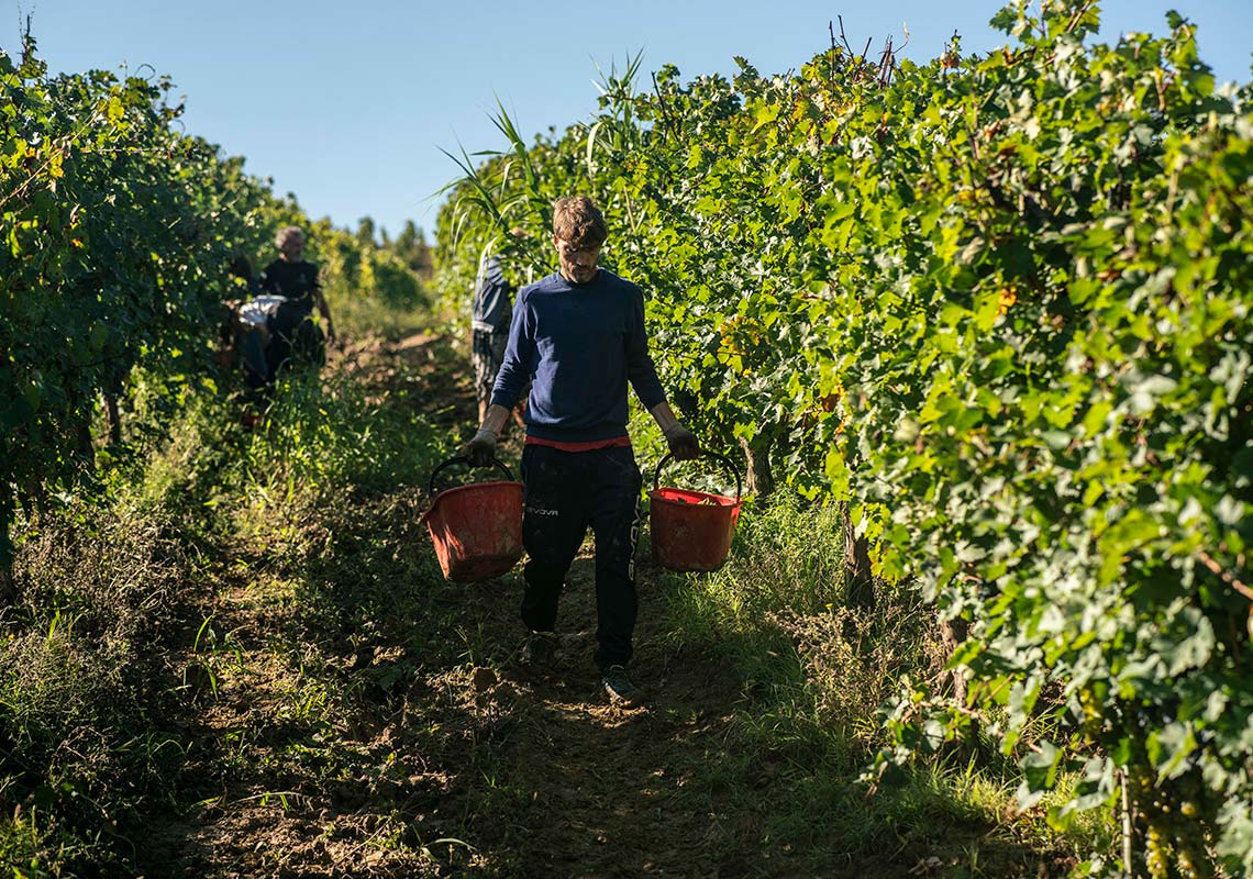 grapes picking