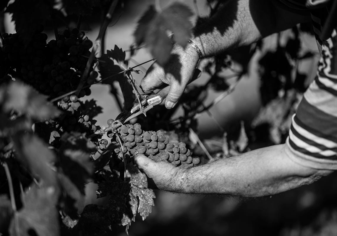 Vendemmia - b/w photo