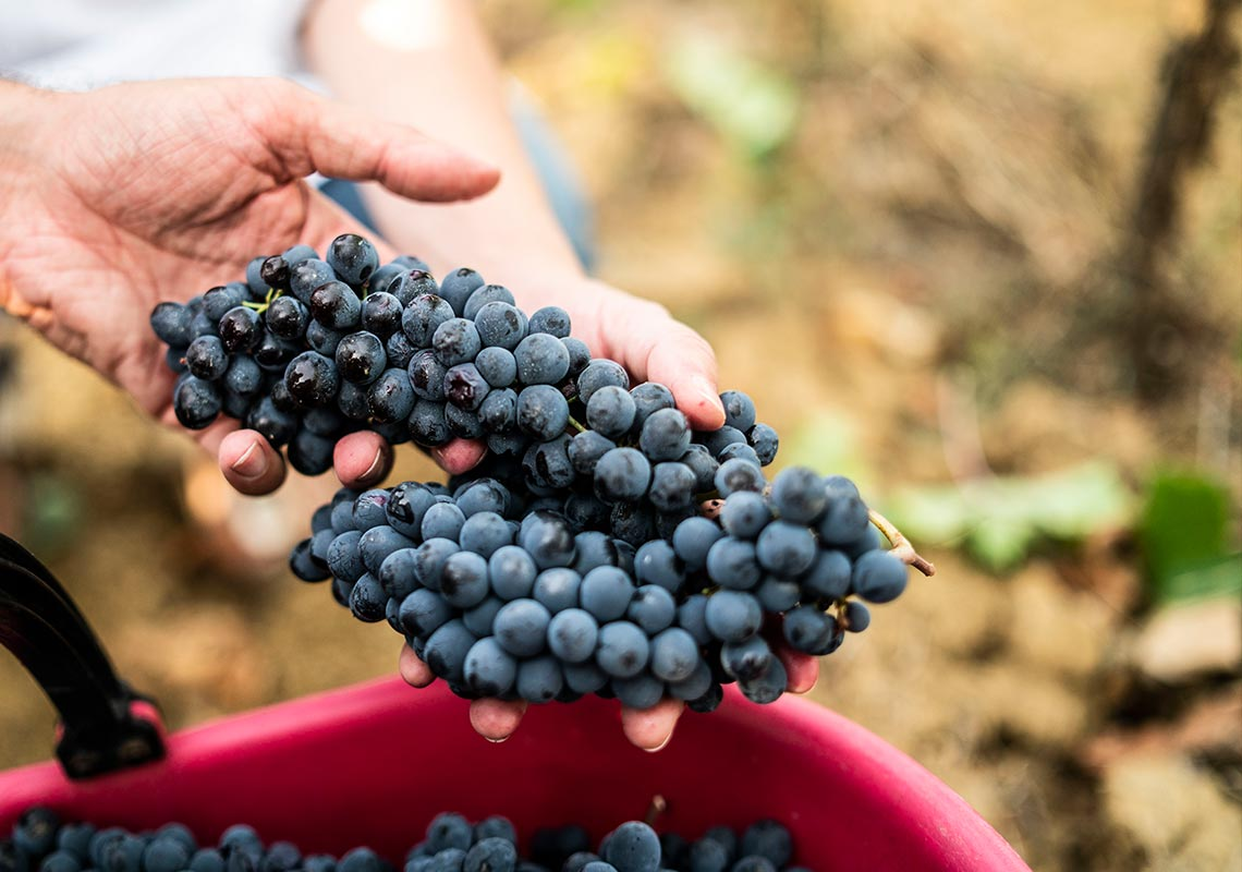 Best quality wine grapes